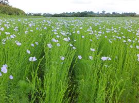Organic Linseed