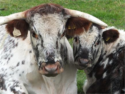 Contented cow & calf