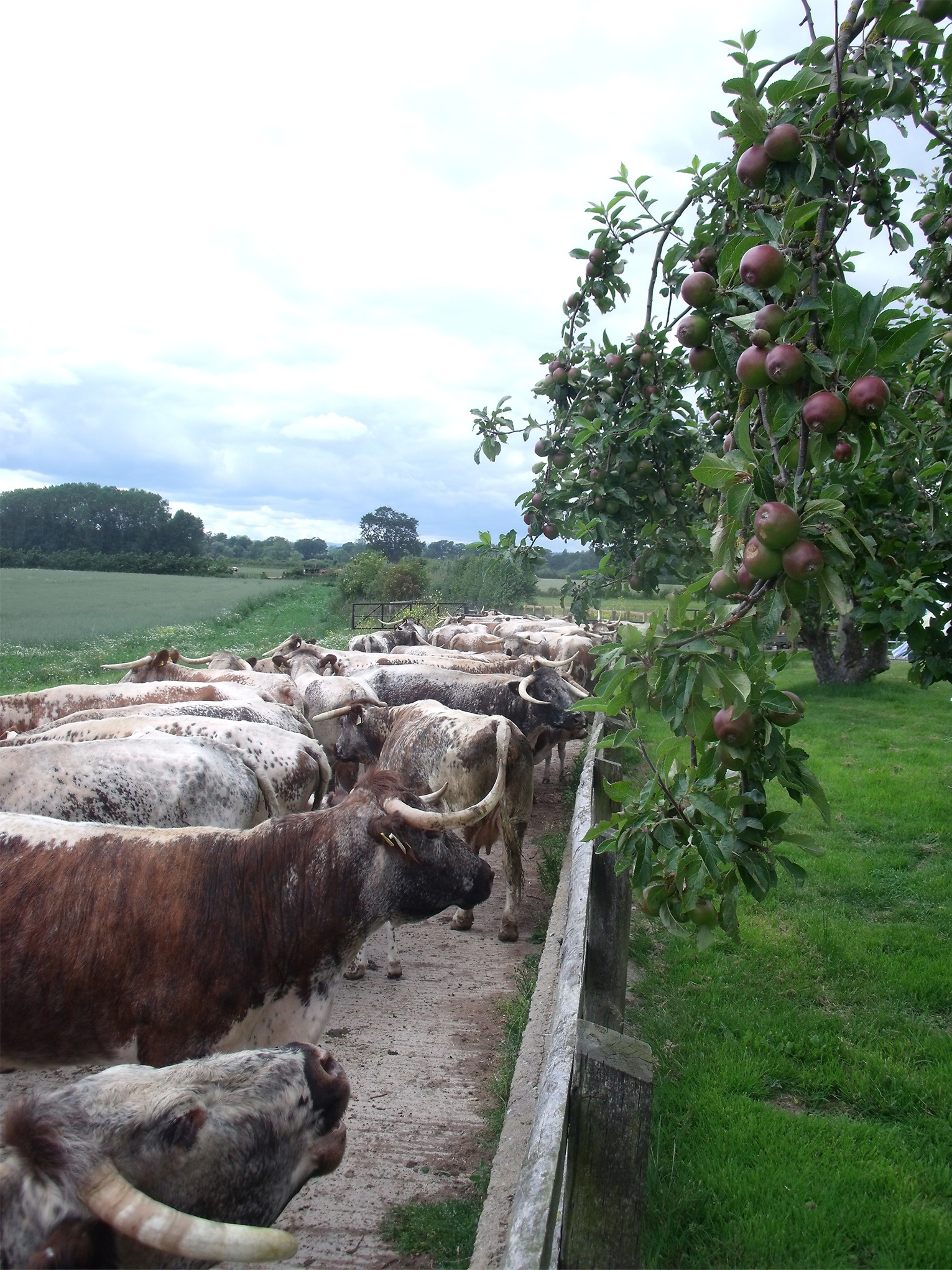 Longhorns and apple trees!