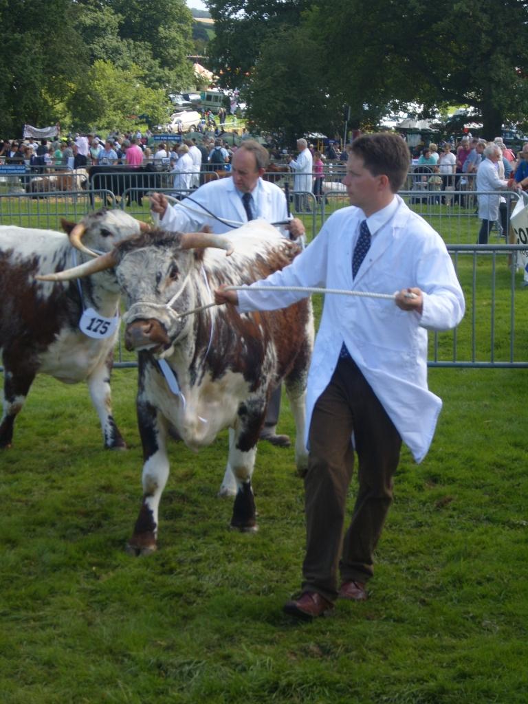 Longhorns being shown