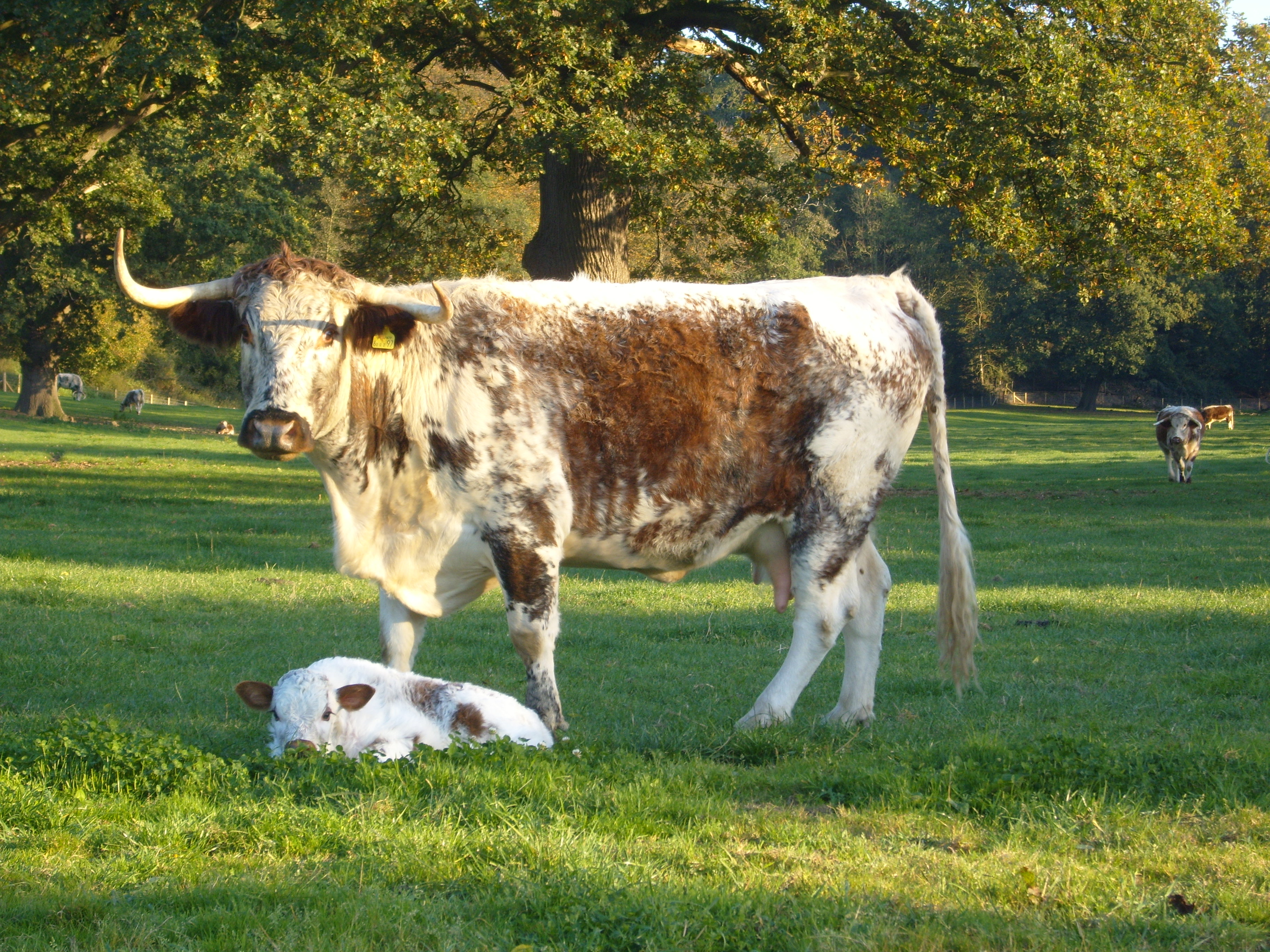 Cow and new Calf